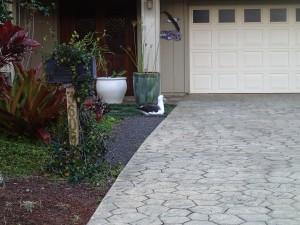 Laysan albatross right next to the driveway!