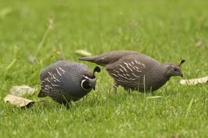 California quail male (left) and female (right)