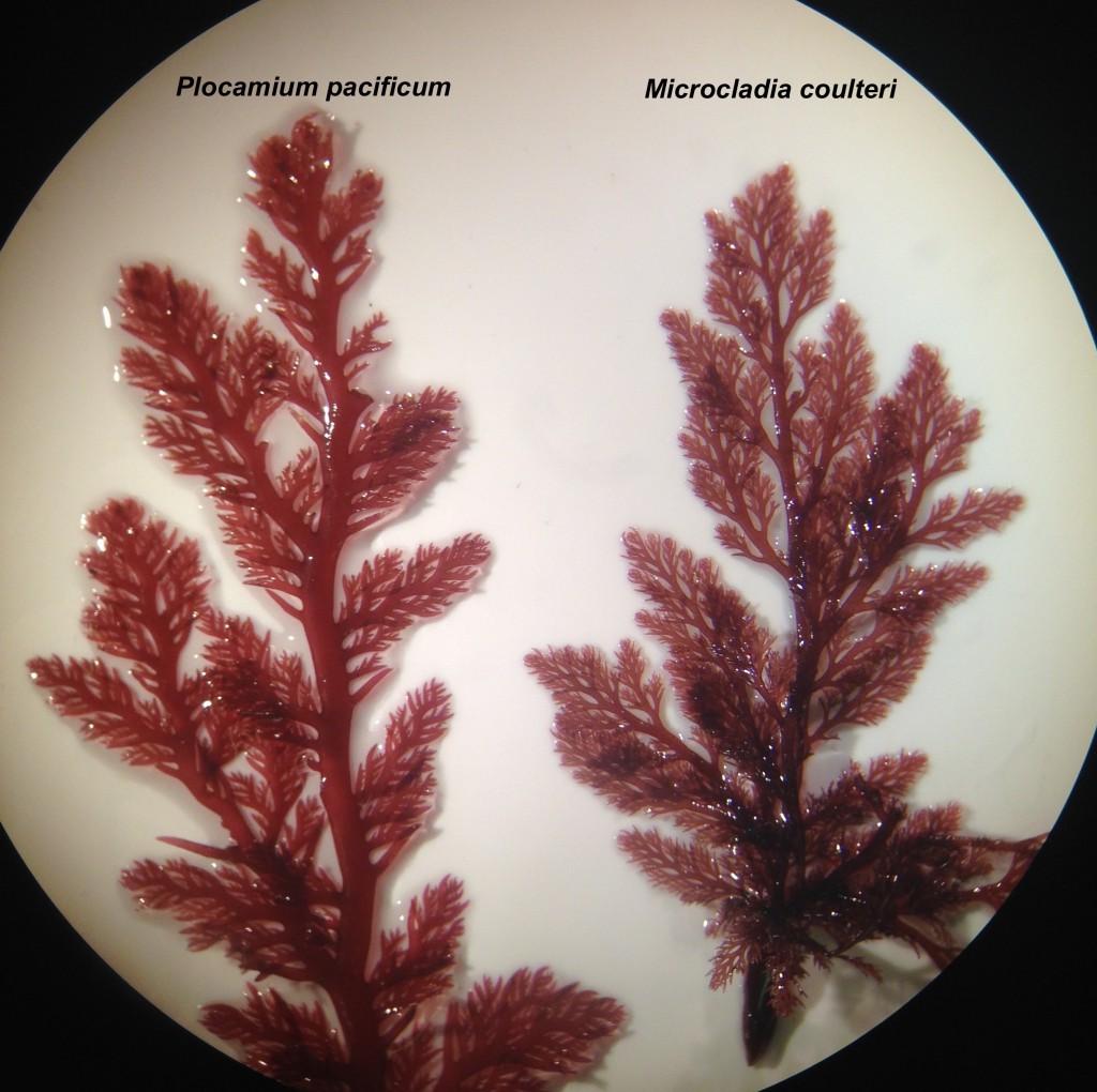 Plocamium pacificum (left) and Microcladia coulteri (right), 18 June 2015. © Allison J. Gong