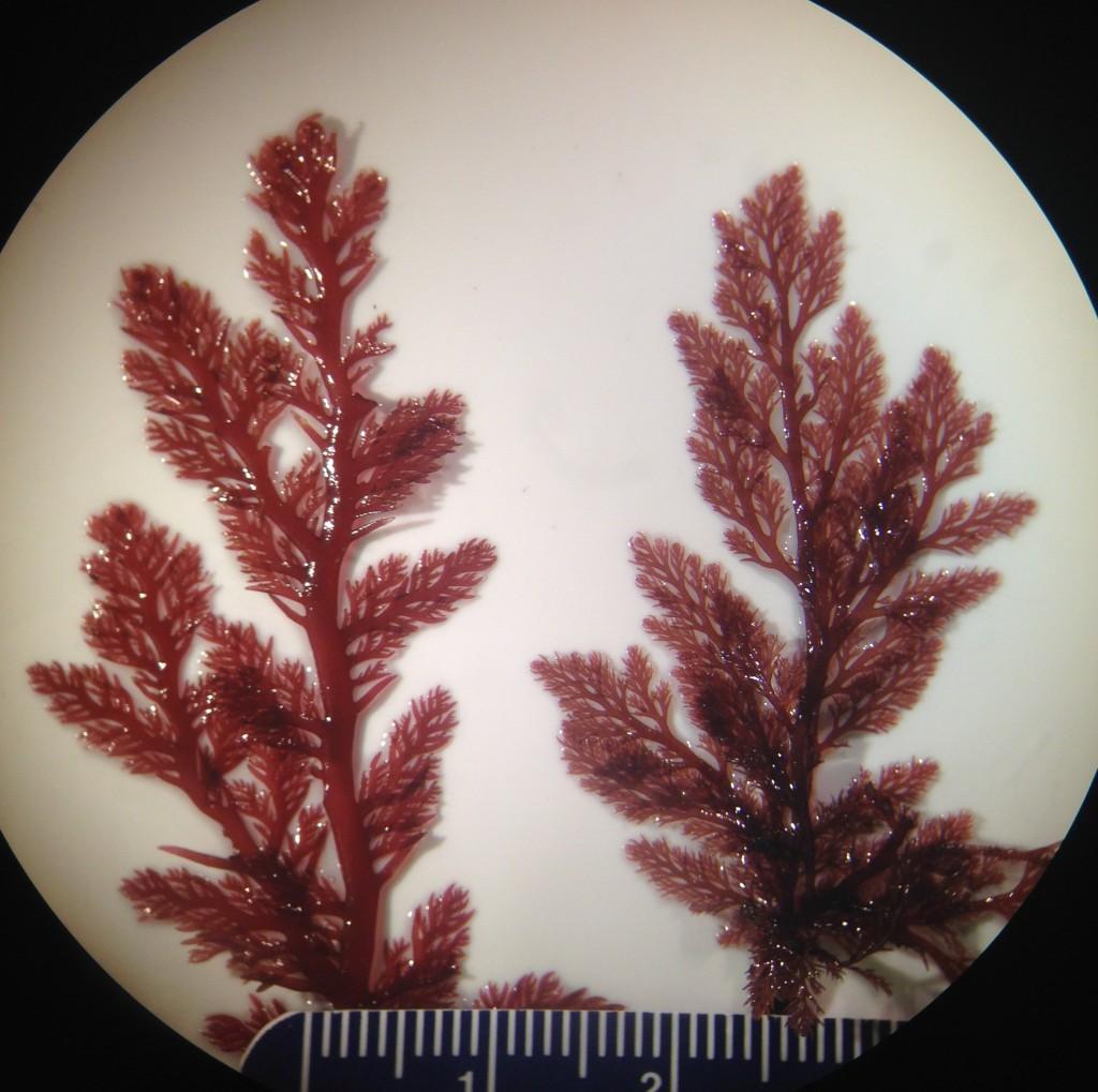 Two unrelated but morphologically similar red algae, 18 June 2015. © Allison J. Gong