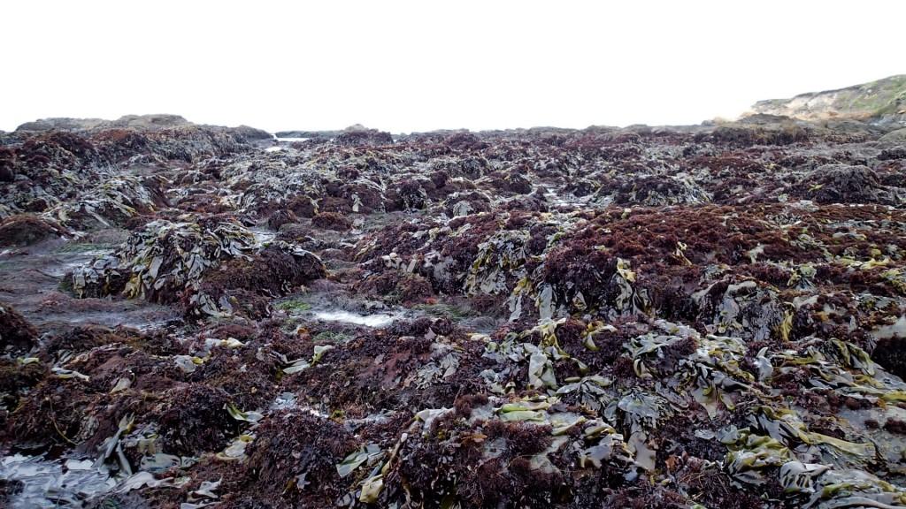 Algae-covered rocks at Pistachio Beach, 18 June 2015. © Allison J Gong