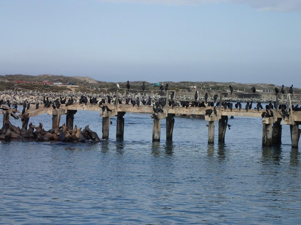 Assorted wildlife covering a dock in Moss Landing Harbor 16 October 2015 © Allison J. Gong