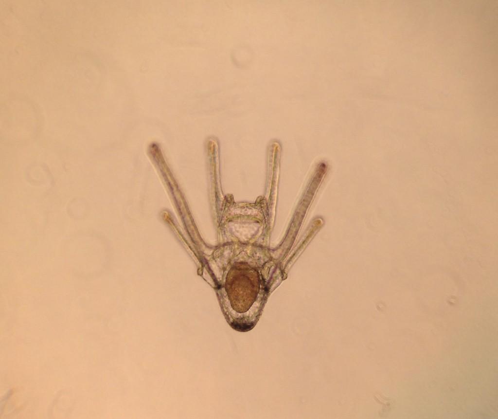 Pluteus larva of Dendraster excentricus, age 9 days. 1 April 2016 © Allison J. Gong
