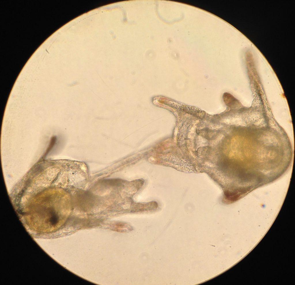 Pluteus larvae of Dendraster excentricus, age 19 days. 11 April 2016 © Allison J. Gong