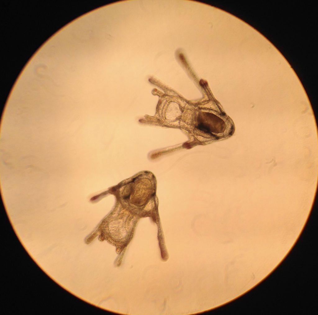 Pluteus larvae of D. excentricus, age 23 days. 15 April 2016 © Allison J. Gong