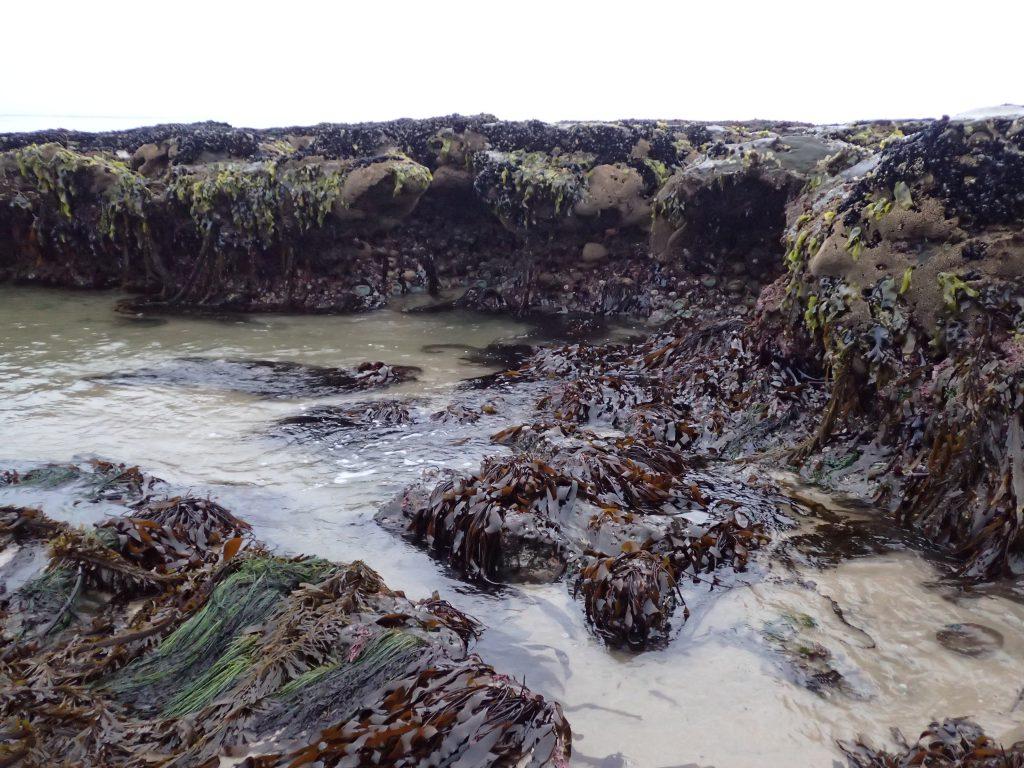 Intertidal life at Natural Bridges. 6 June 2016 © Allison J. Gong