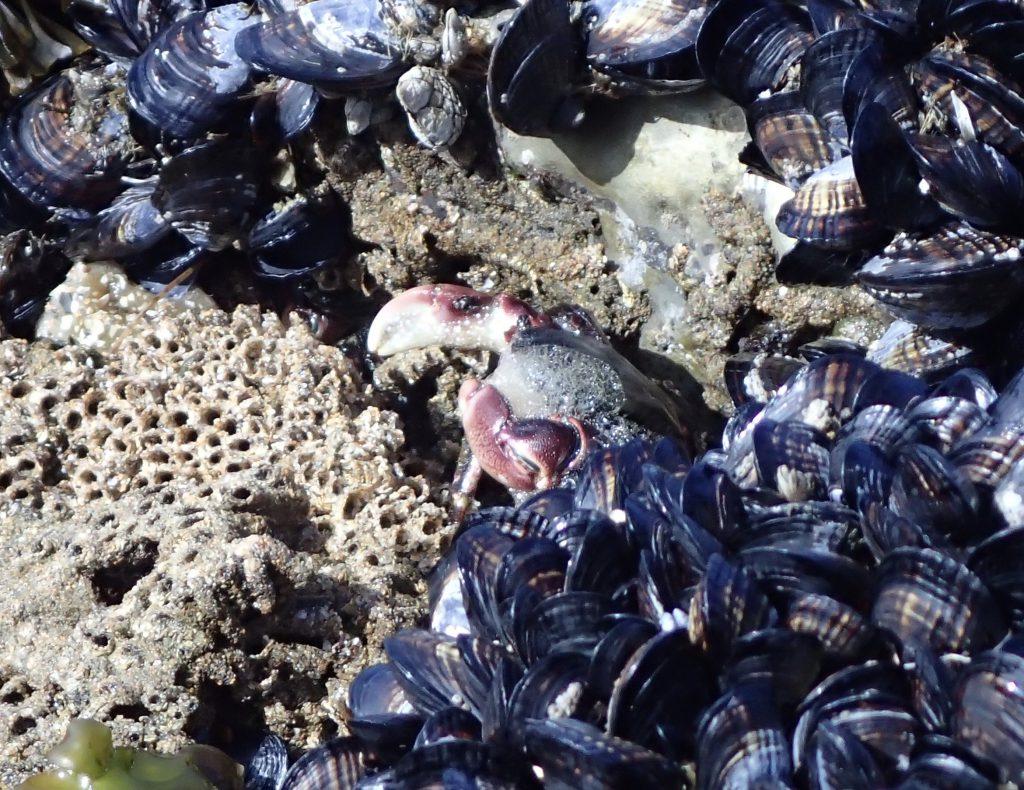 Shore crab (Pachygrapsus crassipes) at Natural Bridges. 10 June 2016 © Allison J. Gong