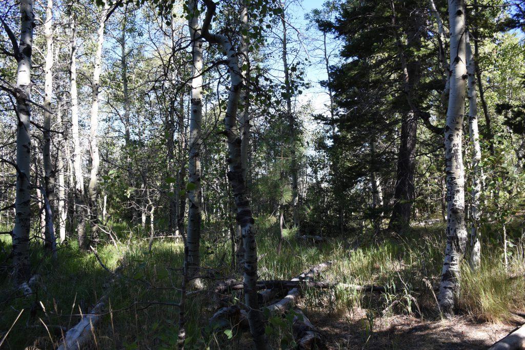 Aspen trees at Taylor Creek. 7 August 2016 © Allison J. Gong