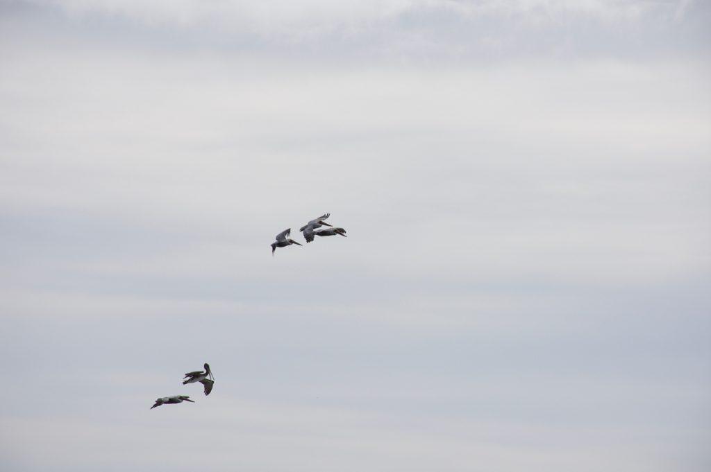Pelicans in flight over Monterey Bay 24 October 2016 © Allison J. Gong