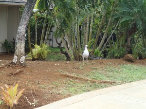 Albatross in someone's front yard in Princeville, Kaua'i