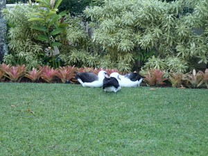 A trio of Laysan albatrosses on a beautifully manicured lawn.