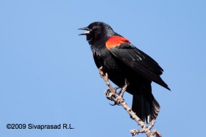 Male red-winged blackbird in display posture