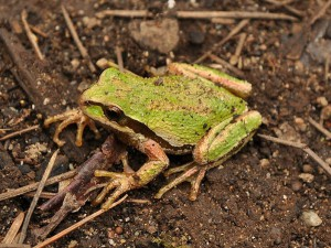 Most Pacific chorus frogs don't live in trees