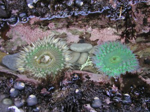 Anthopleura sola (left) and A. xanthogrammica (right) in a shallow pool at Franklin Point.