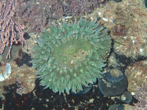 Anthopleura xanthogrammica, photographed at Natural Bridges State Beach