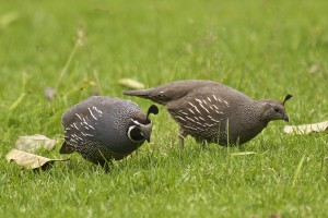 California quail male (left) and female (right)