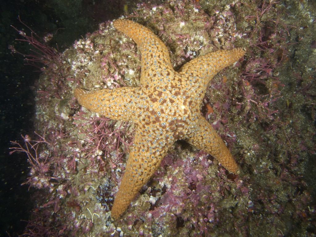 An apparently healthy Pisaster giganteus