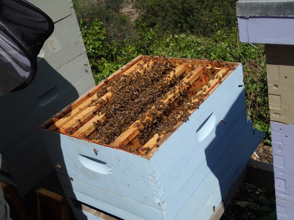 The swarm now lives in our Blue hive. We hope they stay here.