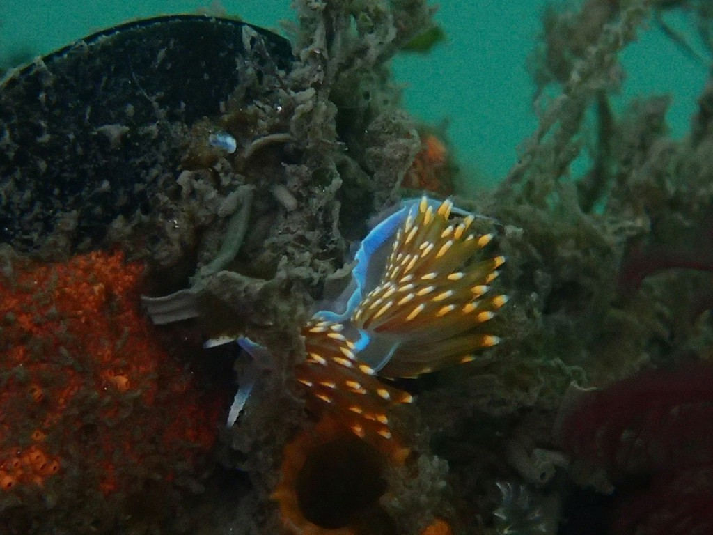 A perennial favorite because of its beautiful coloring. It eats my hydroids, though, so I don't like it.