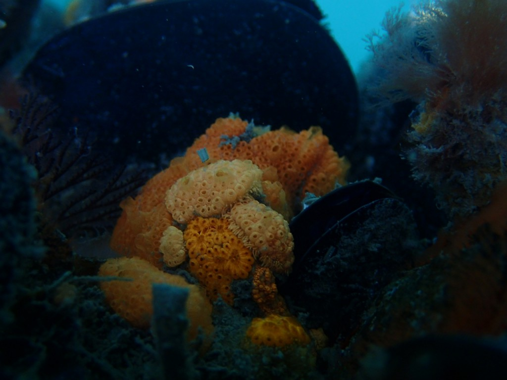 Colonial sea squirts, Botryllus sp. and Botrylloides sp.