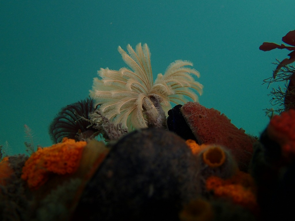 Feather duster worm, Eudistylia vancouveri, easily one of the most conspicuous animals on the docks.