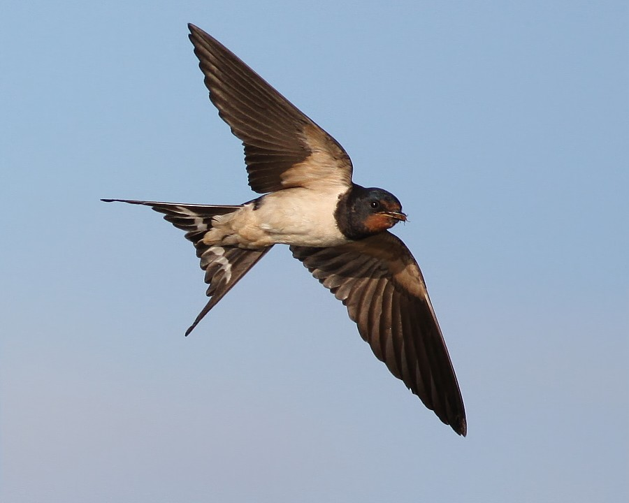 Barn swallow (Hirundo rustica) in flight