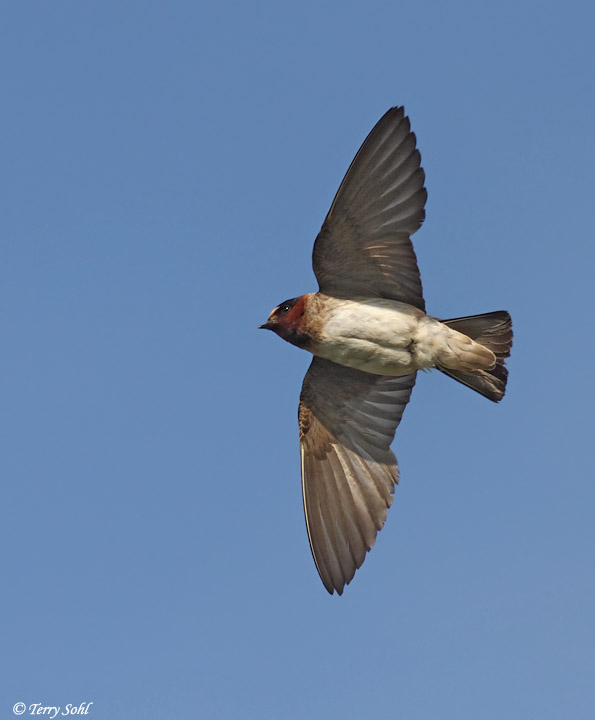 Cliff swallow (Petrochelidon pyrrhonota) in flight