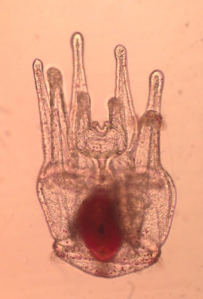 41-day-old pluteus larva of Strongylocentrotus purpuratus, 2 March 2015. ©Allison J. Gong
