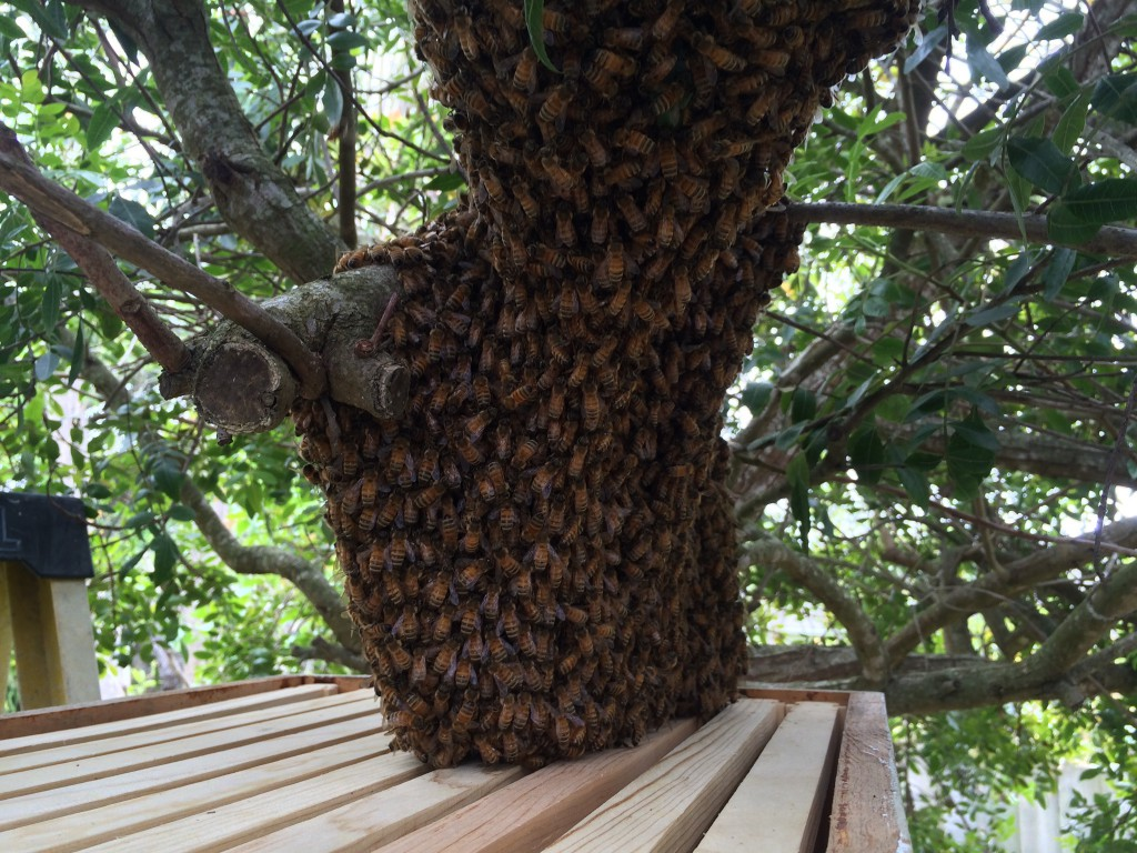 We lifted a box of frames under the swarm to entice the bees inside, 5 April 2015.