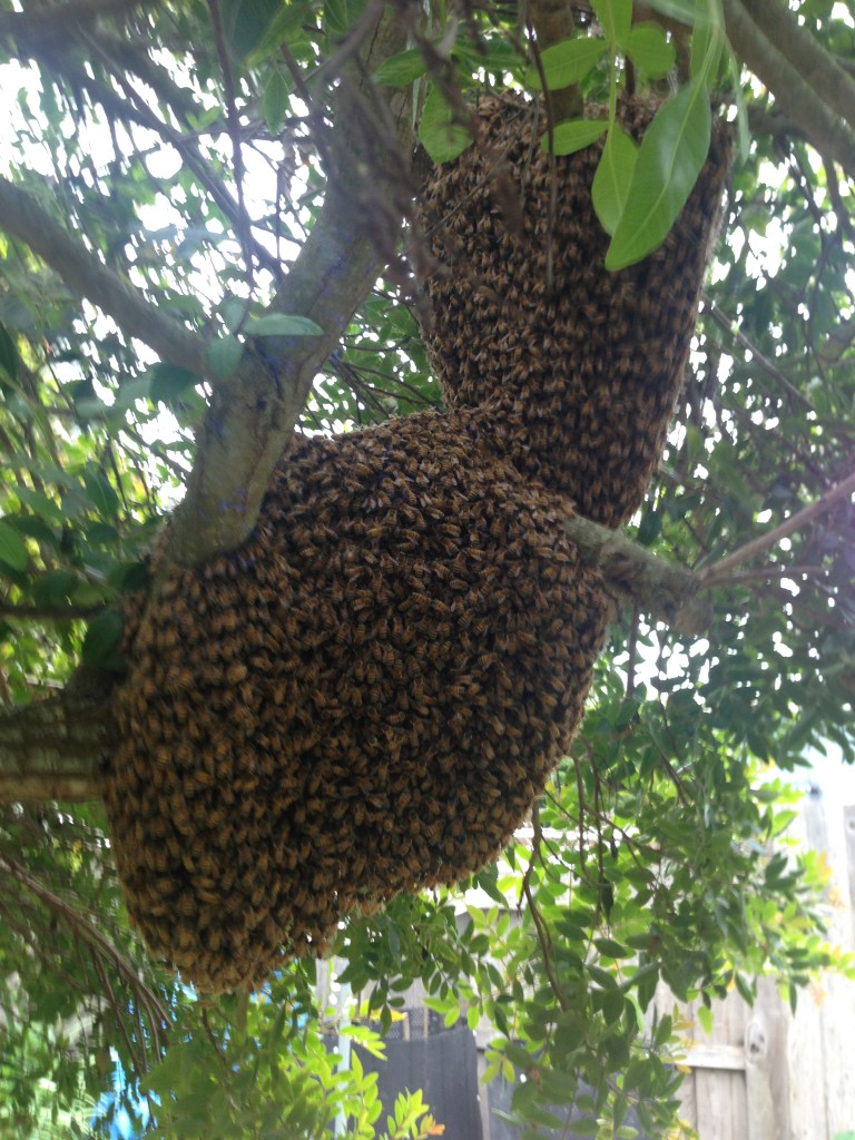 Large bi-lobed swarm of bees, 5 April 2015.