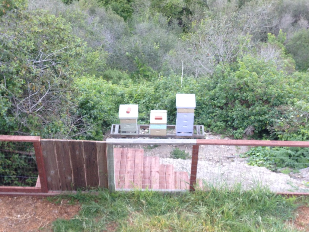 The three hives in Apiary #1. The new swarm is in the Blue hive. 9 April 2015. © Allison J. Gong