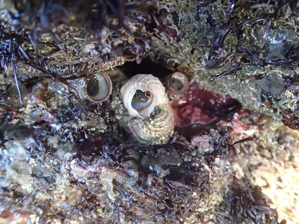 The vermetid snail Serpulorbis squamigerus at Point Piños, 9 May 2015. © Allison J. Gong