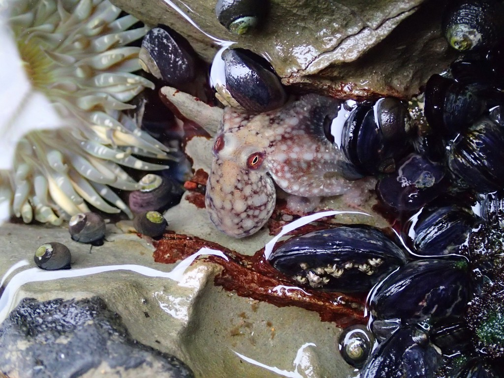 Little octopus in tide pool at Natural Bridges State Beach, 4 May 2015. © Allison J. Gong