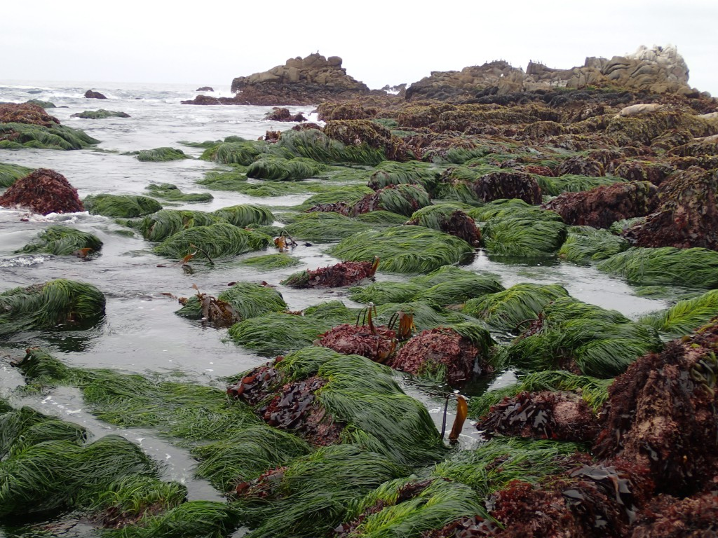 Beds of Phyllospadix scouleri at Point Pinos, 9 May 2015. © Allison J. Gong