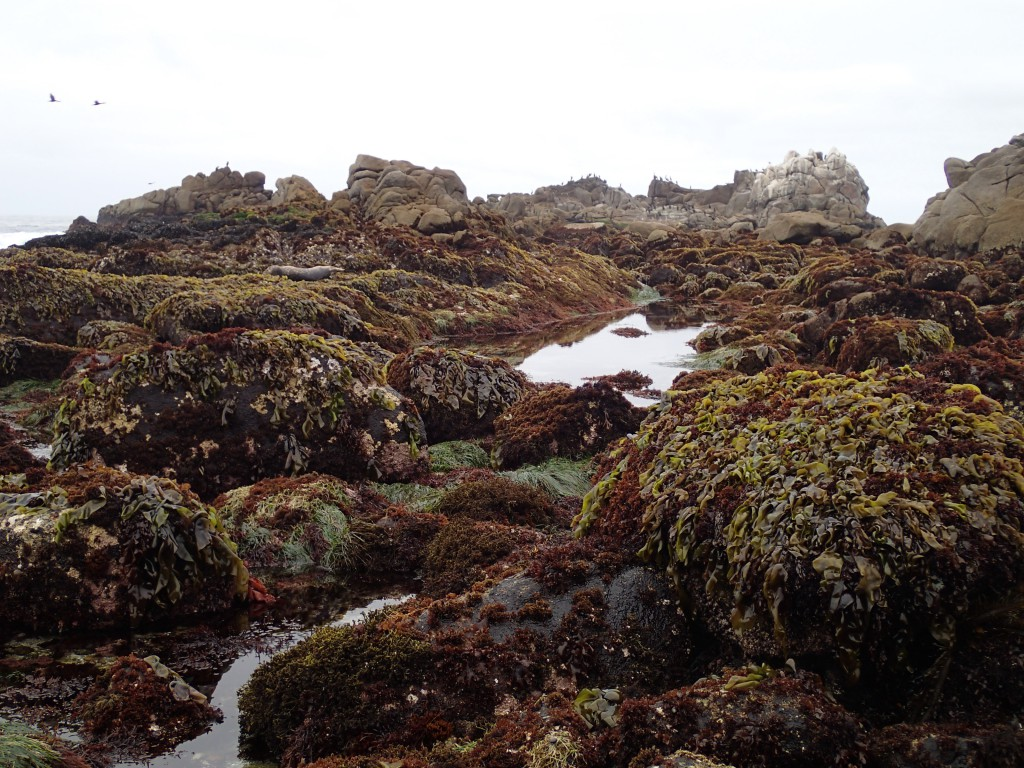 Macroalgae at Point Pinos, 9 May 2015. © Allison J. Gong