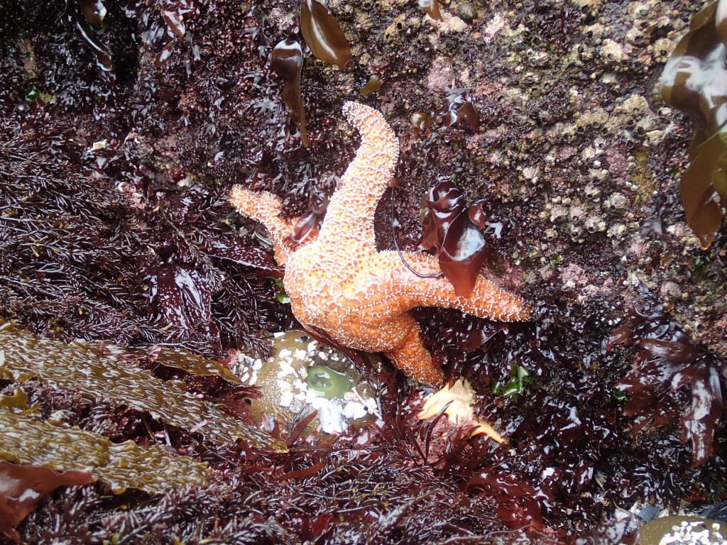 Large healthy Pisaster ochraceus (ochre star), 9 May 2015. © Allison J. Gong