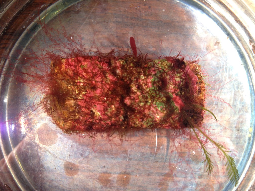 Coralline rock bearing red and green filamentous algae, 16 June 2015. © Allison J. Gong