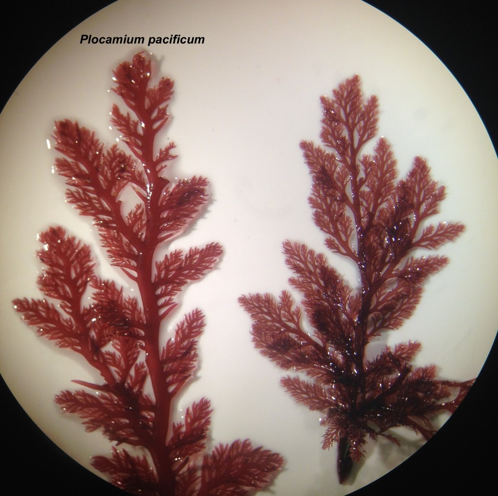 Plocamium pacificum (left) and a mystery look-alike (right), 18 June 2015. © Allison J. Gong