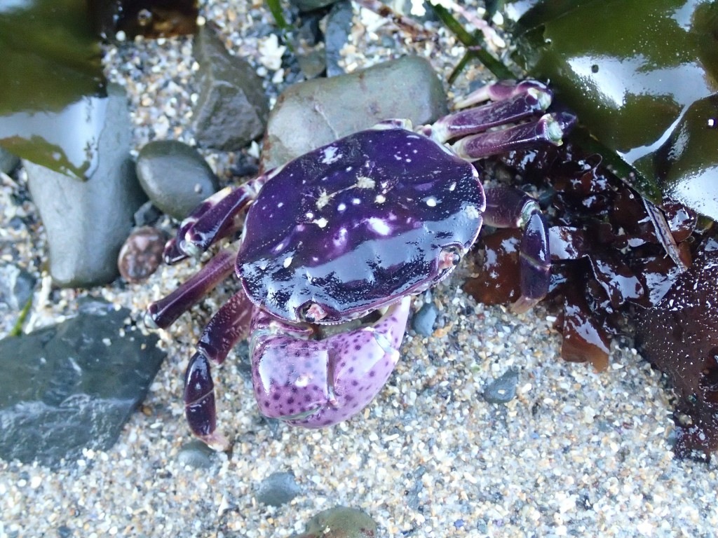 Hemigrapsus nudus, missing a left cheliped, at Pistachio Beach. 4 July 2015. © Allison J. Gong