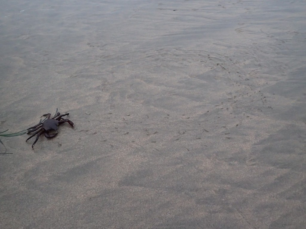 Kelp crab (Pugettia producta) on the beach at Franklin Point, 31 July 2015. © Allison J. Gong