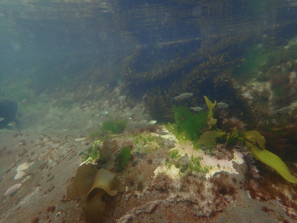 Shiner surfperches in large tidepool at Davenport Landing, 2 August 2015. © Allison J. Gong