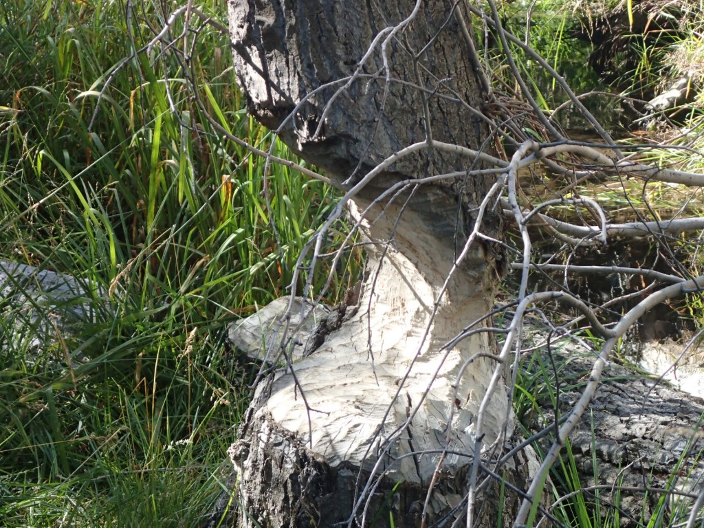Tree almost felled by beavers at Taylor Creek, South Lake Tahoe. 9 August 2015. © Allison J. Gong