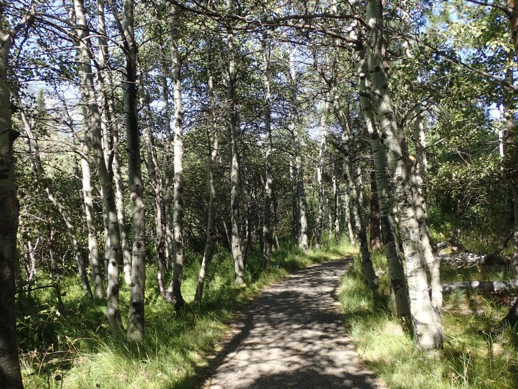 Aspen grove at Taylor Creek, South Lake Tahoe. 9 August 2015. © Allison J. Gong