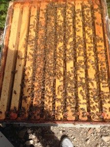 Calm bees walking around on the top bars of frames. 11 April 2015 © Allison J. Gong