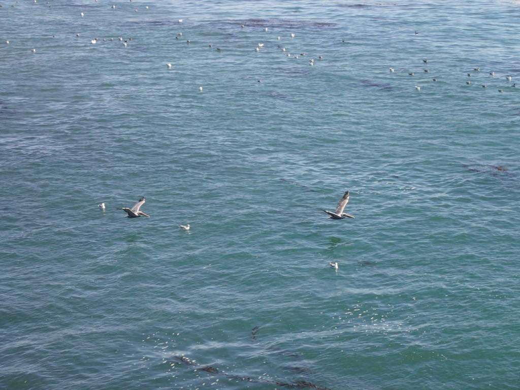 Brown pelicans in flight over Monterey Bay off Terrace Point. 20 September 2015 © Allison J. Gong