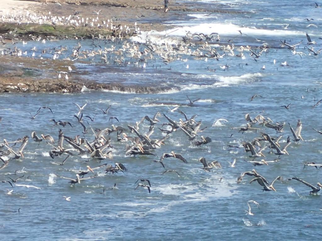 Pelicans 20 September 2015 © Allison J. Gong
