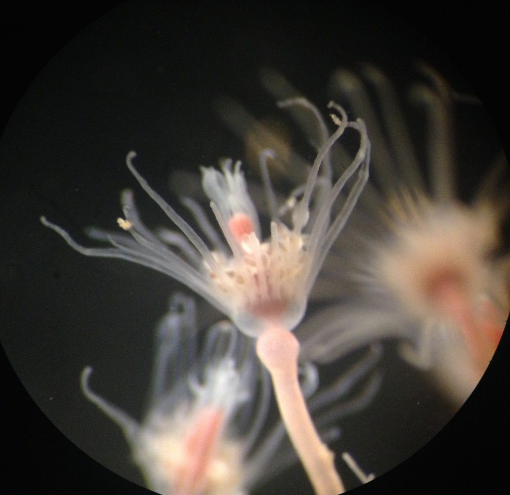 Hydranth of Ectopleura crocea 19 October 2015 © Allison J. Gong