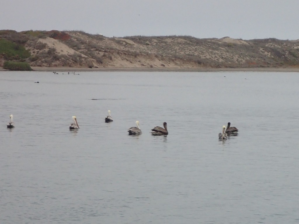 Adult (white-headed) and juvenile brown pelicans (Pelecanus occidentalis) in Moss Landing Harbor 16 October 2015 © Allison J. Gong
