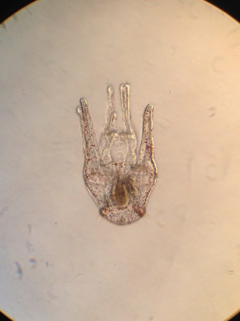 Ventral view of a 30-day-old pluteus larva of the purple sea urchin, Strongylocentrotus purpuratus. 4 December 2015 © Allison J. Gong