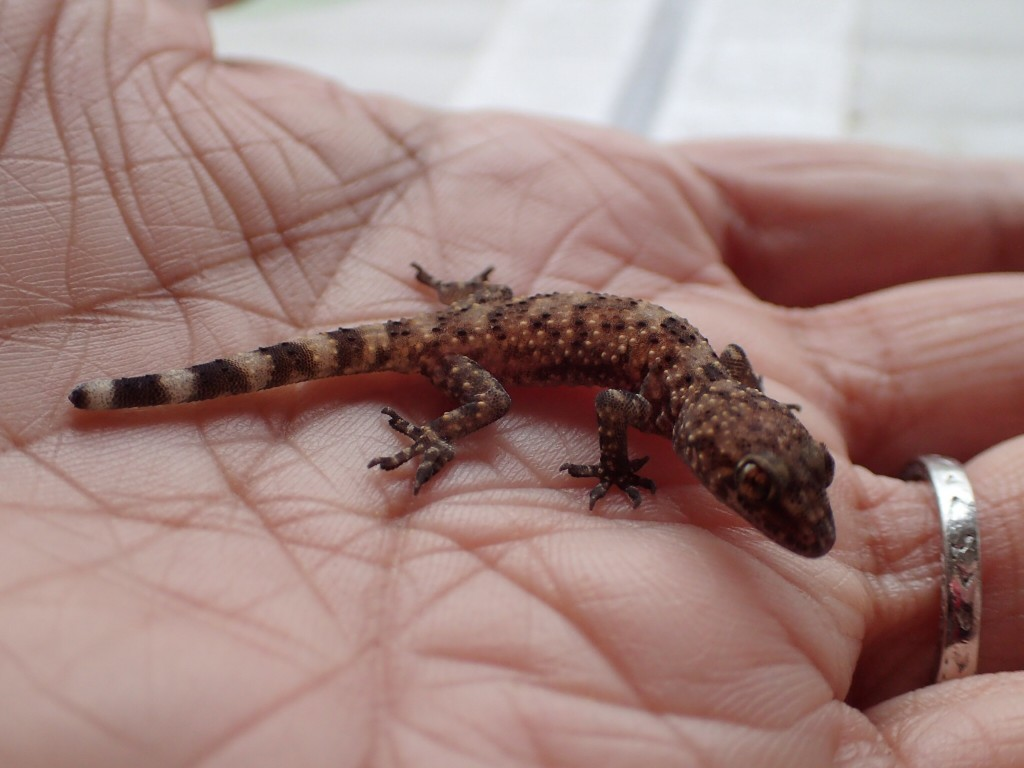 Small lizard found in my parents' backyard in Fresno, California. 19 December 2015 © Allison J. Gong